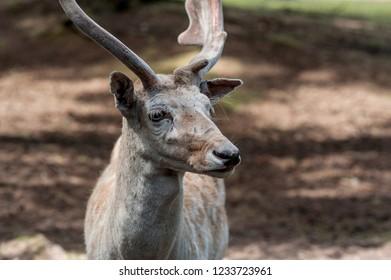 Male fallow deer, Dama dama, at Seaview Game Farm, Comox Valley, British Columbia Canada