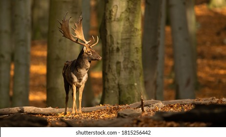 Male fallow deer, dama dama, standing in woodland and looking around during autumn rutting season. Stag with antlers in sunny fall forest. Animal wildlife in nature with copy space.