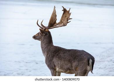 Male fallow deer (Dama dama) in a winter landscape
