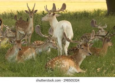 male fallow deer herd in the shade, Dama dama