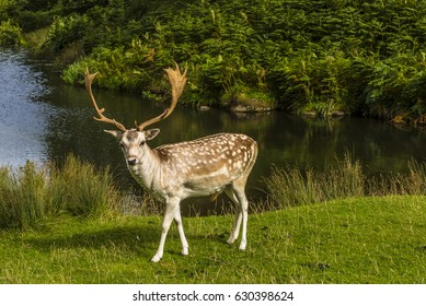 A male fallow standing proud next to the River Lin in Bradgate Park, Leicestershire, UK, during the summer