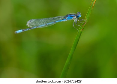 A male Familiar Bluet is clinging to a blade of grass. Taylor Creek Park, Toronto, Ontario, Canada.