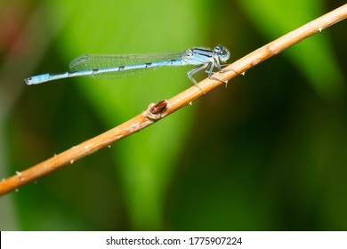 A Male familiar Bluet is clinging to a dead twig. Taylor Creek Park, Toronto, Ontario, Canada.