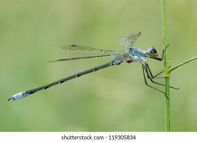 A male familiar bluet damselfly (Enallagma civile) hangs from a grass blade in Barry Co., Mich.