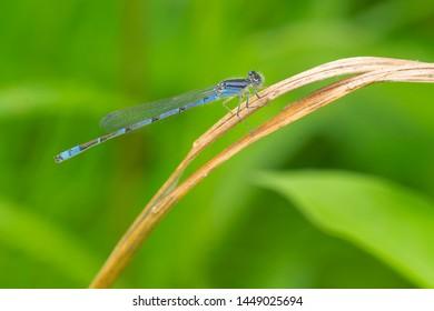 Male Familiar Bluet Damselfly perched on a dead blade of grass. Taylor Creek Park, Toronto, Ontario, Canada.