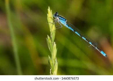 A male Familiar Bluet Damselfly perched on a grass seed head. Taylor Creek Park, Toronto, Ontario, Canada.