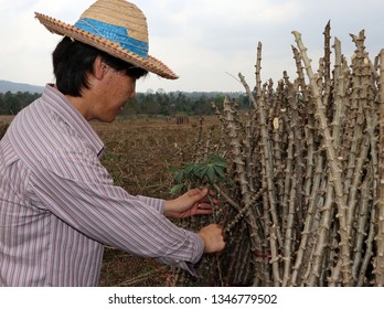 Male farmer Catching  leaf stalk of tapioca plant with tapioca limb that cut the stack together in the cassava farm.
