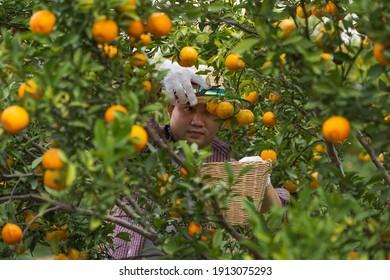 Male farmer harvest picking fruits in orange orchard.orange tree