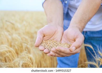 Male farmer with heap of wheat grains in field, closeup