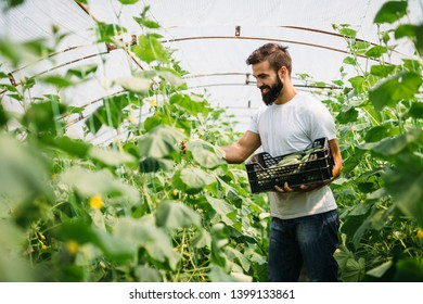 Male farmer picking fresh cucumbers from his hothouse garden