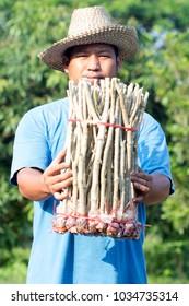 Male farmer Senegalia pennata , cha-om, rope bundle 50 branches