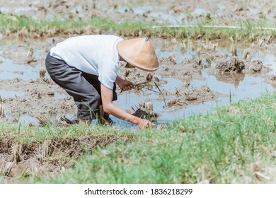 The male farmer wears a hat when bending over to plant rice in the fields