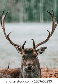 male fellow deer lying on the floow , looking directly into camera