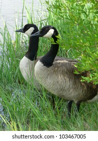 Male and female adult Canada Geese peering at the water guarding their nest in the grass