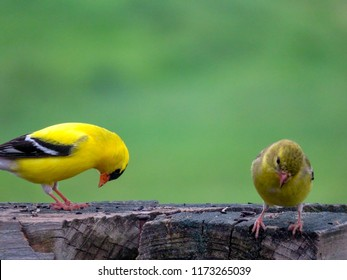 Male and female American goldfinch.