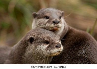 Male and Female Asian Short clawed otters.