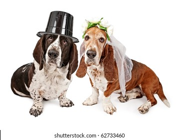 A male and a female Basset Hound dressed as a bride and groom. Isolated on white.