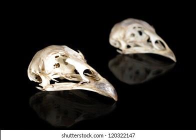 Male and female bird skulls isolated on black