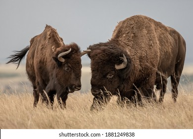 Male and Female Bison Stand Next to Each Other in field in Badlands National Park