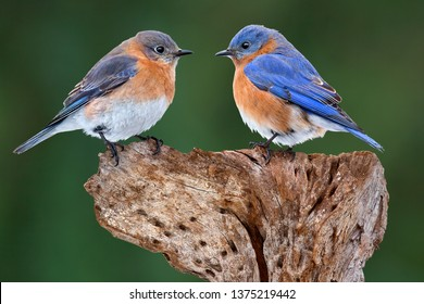 A male and female bluebird are facing each other.