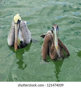 A male and female brown pelican found in the Galveston, TX area.