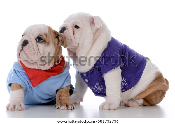 male and female bulldog puppy loving each other