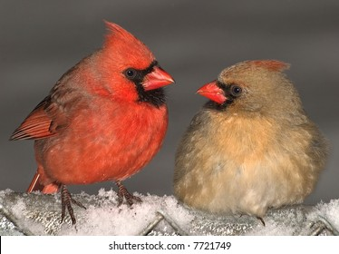 A male and female cardinal are making eyes at each other.