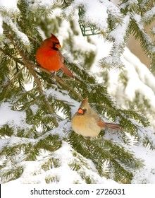 A male and female cardinal sit in an evergreen tree following a snowstorm