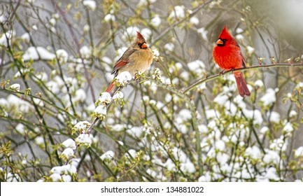 Male and Female Cardinals sit together on a snowy rose bush.