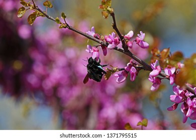 Male and female carpenter bees Latin xylocopa violacea male has stripes on the antennae mating on a purple or pink judas tree blossom Latin circis siliquastrum from the pea family leguminosae in Italy