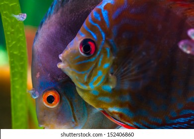 Male and female discus fish with baby fish