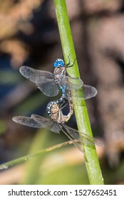 Male and female dragonfly cling to outdoor vegetation stalk while engaing in reproductive intercourse.