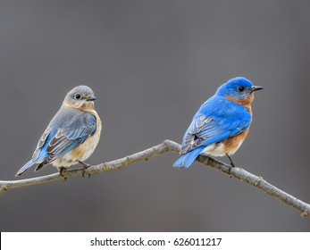 Male and Female Eastern Bluebird