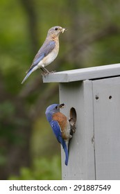 Male and Female Eastern Bluebirds (Sialia sialis) at Nestbox with Insects in their Beaks - Ontario, Canada