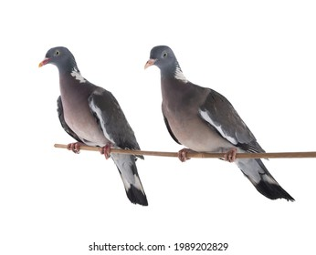 male and female european wood pigeon(Columba palumbus) isolated on white background - Shutterstock ID 1989202829