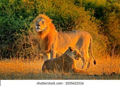 Male and female, evening orange sun, during sunset, Chobe National Park, Botswana, Africa. African Lion, Panthera leo bleyenberghi.