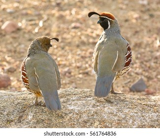 A male and female Gambel's Quail possibly making plans for a night-time date.