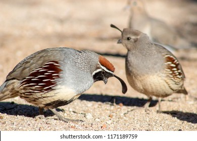 A male and female Gambel's quail in the southwest desert. Photographed in Tucson, Arizona, spring of 2018.
