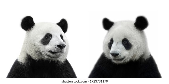 Male and female giant panda bear isolated on white background