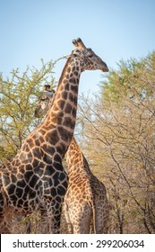 male and female giraffe seen at the Kruger National park