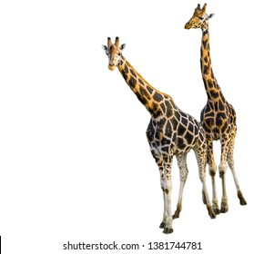 Male and female giraffe together isolated on a white background, popular zoo animals, Endangered animal specie from africa