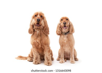 Male and female golden Cocker Spaniel puppy dogs sitting and smiling against a white background