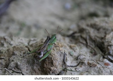 Male and female grasshopper propagating in the grass in Indiana. reproduction, reproducing, coitus. Orthoptera