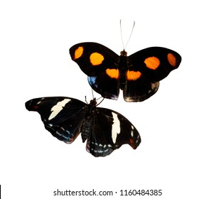 A male and a female Grecian shoemaker, blue-frosted banner or stoplight Catone butterfly, Catonephele numilia isolated on white. The male has orange spots, the female has white stripes and blue dots.