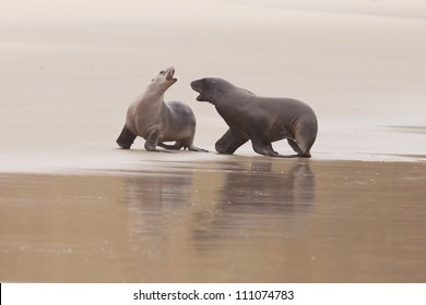 Male and female Hookers sealions, Phocarctos hookeri, or whakahao, engaged in rough playful act of courtship behaviour on sandy beach