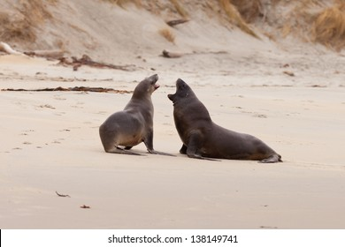 Male and female Hookers sealions  Phocarctos hookeri  or whakahao  engaged in rough playful act of courtship behaviour on sandy beach