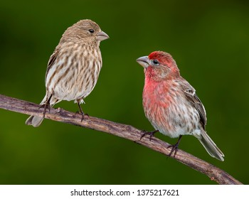 A male and female House finch are facing each otherwhile sitting on a vine.