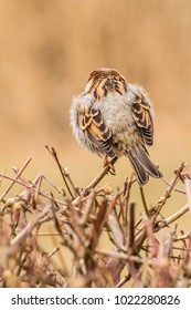 Male or female house sparrow or Passer domesticus is a bird of the sparrow family Passeridae, found in most parts of the world