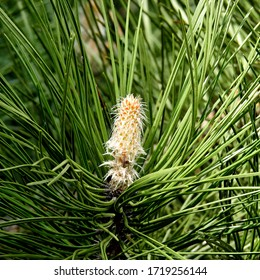 male and female inflorescences pine trees growing in the park above the white river in the city of Bialystok in the Podlasie region in Poland - Shutterstock ID 1719256144