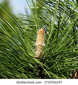male and female inflorescences pine trees growing in the park above the white river in the city of Bialystok in the Podlasie region in Poland - Shutterstock ID 1719256147
